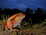 Tomato Frog (Dyscophus Antongili), Eastern Madagascar Photographic Print by Andres Morya Hinojosa