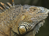 Green Iguana (Iguana Iguana), Green Iguana Exhibit, San Ignacio, Belize Photographic Print by William Sutton