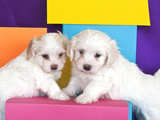 Two Havanes Puppies with Colorful Background, California, USA Photographic Print by Zandria Muench Beraldo