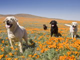 Four Labrador Retrievers Standing in a Field of Poppies at Antelope Valley in California, USA Photographic Print by Zandria Muench Beraldo