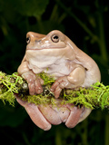 White's Treefrog, Litoria Caerulea, Native to Australia Photographic Print by David Northcott