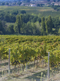 Vineyard, Montefalco, Italy Lámina fotográfica por Rob Tilley