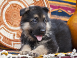German Shepherd Puppy Lying on Southwestern Blankets Photographic Print by Zandria Muench Beraldo