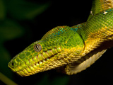 Emerald Tree Boa, Corallus Caninus, Native to Northern South America Photographic Print by David Northcott