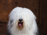 Portrait of an Old English Sheepdog, California, USA Photographic Print by Zandria Muench Beraldo