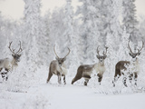 Caribou, Finger Mountain, Alaska, USA Stampa fotografica di Hugh Rose