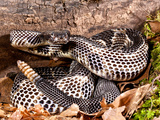 Black Phase Timber Rattlesnake (Crotalus Horridus Horridus), Native to North Eastern USA Photographic Print by David Northcott