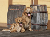 Two Golden Retrievers Next to Two Wooden Barrels on a Wooden Deck Photographic Print by Zandria Muench Beraldo