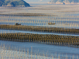 Fishing Boat Sailing Through Bamboo Sticks, Seaweed Farm, East China Sea, Xiapu, Fujian, China Photographic Print by Keren Su