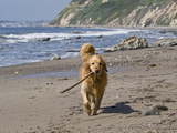 A Golden Retriever Walking with a Stick at Hendrey's Beach in Santa Barbara, California, USA Photographic Print by Zandria Muench Beraldo