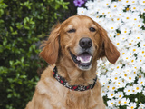 Portrait of a Happy Golden Retriever in Front of a Bush of Daisies Photographic Print by Zandria Muench Beraldo