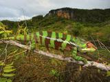 Giant Madagascar or Oustalet's Chameleon, Montagne Des Franiais Reserve Antsiranana, Madagascar Photographic Print by Andres Morya Hinojosa