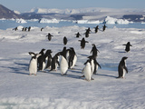 Adelie Penguins, Devil Island, Antartica, Antarctic Photographic Print by Hugh Rose