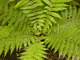 Fern Near Matai Falls, Catlins, South Otago, South Island, New Zealand Photographic Print by David Wall
