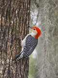 Red-Bellied Woodpecker, Texas, USA Photographic Print by Larry Ditto