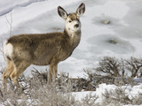 Mule Deer in Grand Teton National Park, Wyoming, USA Photographic Print by Tom Norring