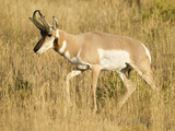 Pronghorn, Yellowstone National Park, Montana, USA Photographic Print by Joe & Mary Ann McDonald