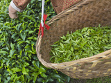 Harvesting Tieguanyin Tea Leaves at a Tea Plantation, Fujian, China Lámina fotográfica por Keren Su