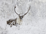 Caribou, Finger Mountain, Alaska, USA Photographic Print by Hugh Rose