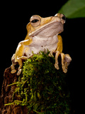 Borneo Eared Frog, Polypedates Otilophus, Native to Borneo Photographic Print by David Northcott