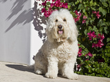 A Goldendoodle Sitting on a Garden Walkway, California, USA Photographic Print by Zandria Muench Beraldo