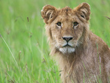 Lion in the Grass, Maasai Mara National Reserve, Kenya Photographic Print by Keren Su