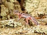 Banded Gecko, Coleonyx Variegatus, South East Arizona Photographic Print by David Northcott