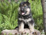 German Shepherd Puppy Sitting on a Rock Next to a Tree Trunk Photographic Print by Zandria Muench Beraldo