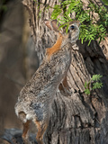 Desert Cottontail Rabbit, Santa Clara Ranch, Texas, USA Photographic Print by Dave Welling