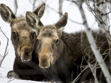 Moose at Grand Teton National Park, Wyoming, USA Fotografisk trykk av Tom Norring
