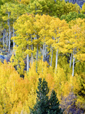 Aspen Fall Foliage, Eastern Sierra Foothills, California, USA Photographic Print by Tom Norring