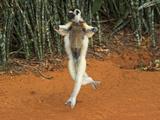 Madagascar Verreaux's Sifaka (Propithecus Verreauxi), Berenty Private Reserve, Madagascar Photographic Print by Andres Morya Hinojosa