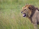 Lion on the Savannah, Maasai Mara National Reserve, Kenya Photographic Print by Keren Su