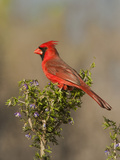 Male Northern Cardinal, Santa Clara Ranch, Texas, USA Photographic Print by Dave Welling