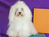 A Havanese Sitting in Front of Colorful Background, California, USA Photographic Print by Zandria Muench Beraldo