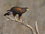 Harris's Hawk, Texas, USA Photographic Print by Larry Ditto