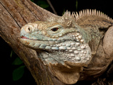 Cayman Island Iguana, Cyclura Lewisi, Cayman Islands Photographie par David Northcott
