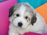 Portrait of a Great Pyrenees Puppy with Colorful Background, California, USA Photographic Print by Zandria Muench Beraldo