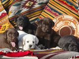 Five Labrador Retriever Puppies of All Colors on Southwestern Blankets Photographic Print by Zandria Muench Beraldo