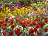 Tulips in St James's Park, London, England, United Kingdom Photographic Print by David Wall