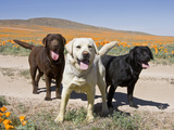All Three Colors of Labrador Retrievers Standing on Dirt Road, Antelope Valley in California, USA Photographic Print by Zandria Muench Beraldo