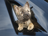 A Cairn Terrier Puppy Coming Through a Shinny Black Surface Photographic Print by Zandria Muench Beraldo