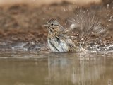 Lincoln's Sparrow Bathing, Santa Clara Ranch, Texas, USA Photographic Print by Dave Welling