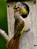 Great Crested Flycatcher Myiarchus Crinitus Central Pennsylvania Reproduction photographique par David Northcott