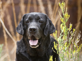 Portrait of a Black Labrador Retriever Sitting by Some Yellow Flowers Photographic Print by Zandria Muench Beraldo