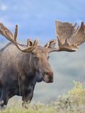 Bull Moose, Denali National Park, Alaska, USA Photographic Print by Hugh Rose