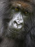Umubano Group of Mountain Gorillas, Volcanoes National Park, Rwanda Photographic Print by Ralph H. Bendjebar