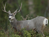 Mule Deer, Yellowstone National Park, Wyoming, USA Photographic Print by Joe & Mary Ann McDonald