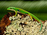 4 Spot Day Gecko, Phelsuma Quadriocellata, Native to Madagascar Photographic Print by David Northcott