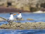 Royal Terns (Sterna Maxima) on Intertidal Rock, Punta Baja, Isla Carmen, Sea of Cortez, Mexico Photographic Print by Gary Luhm